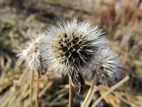 div class=ru p 21.04.2012: За зиму семена не обтрепались нисколько.